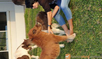 Rocky: Miniature Stallion, Ginger/Chestnut on HorseYard.com.au
