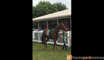 OTT Thoroughbred 17hh  on HorseYard.com.au