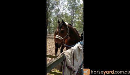 Quiet TB Gelding on HorseYard.com.au