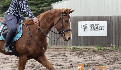 Quite, Unraced & Retrained TB on HorseYard.com.au