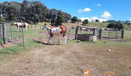 Overo Colt on HorseYard.com.au