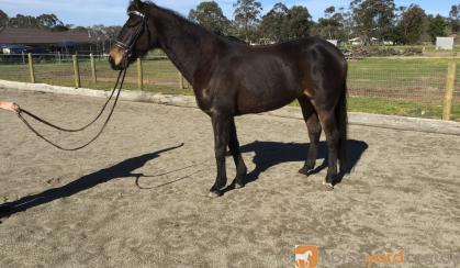 Sweet gelding on HorseYard.com.au