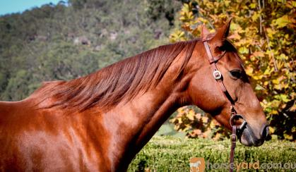 Buckskin Pony Mare  on HorseYard.com.au