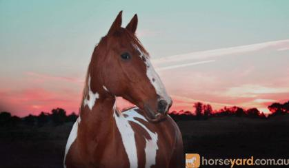 Hydalgo Clydie x paint on HorseYard.com.au