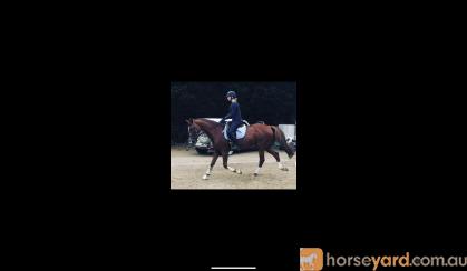 Lovely ISH Allrounder For Sale  on HorseYard.com.au