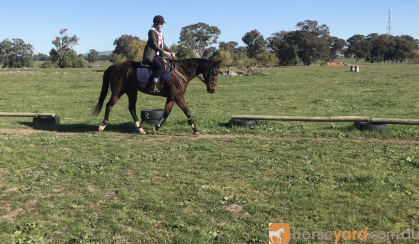 Quiet and Talented Allrounder on HorseYard.com.au