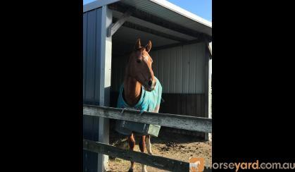 'Autumn' 4yo chestnut Thoroughbred mare on HorseYard.com.au