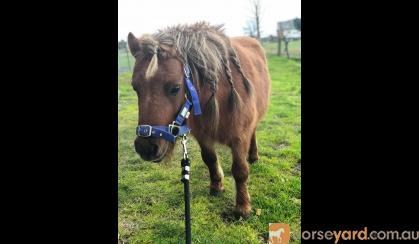 Mini Pony Stallion on HorseYard.com.au