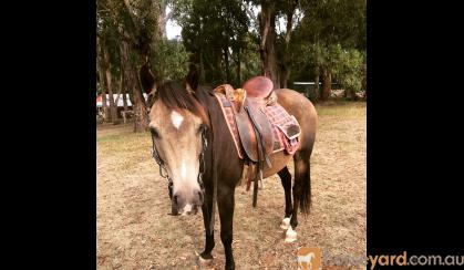 Stunning Sooty Buckskin  on HorseYard.com.au