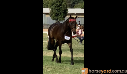 BEAUTIFUL OTT HACK on HorseYard.com.au