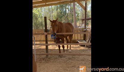 Jimmy Choo  16.1hh 13 y/o OTT Thoroughbred Gelding on HorseYard.com.au