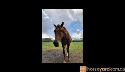 Sweet natured Thoroughbred mare on HorseYard.com.au