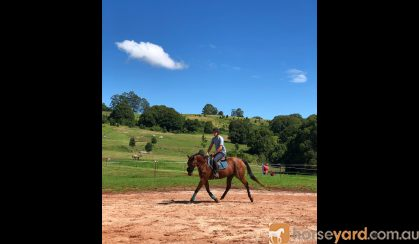 Lovely gelding - ready to start performance career on HorseYard.com.au