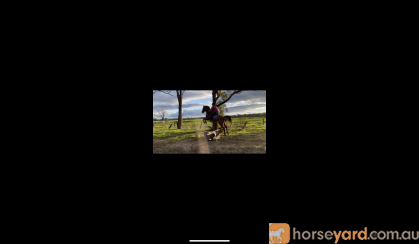 Roany 14h 4yo quarter horse gelding  on HorseYard.com.au