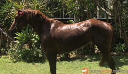 QUIET CHILDS ALLROUNDER on HorseYard.com.au
