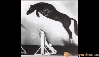 Warm blood brood mare  on HorseYard.com.au