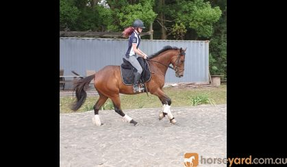 Seriously Flash OTTB Gelding!! on HorseYard.com.au