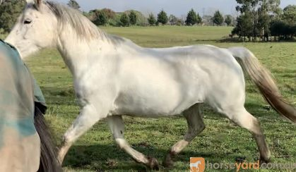Lovely Broodmare/Companion  on HorseYard.com.au