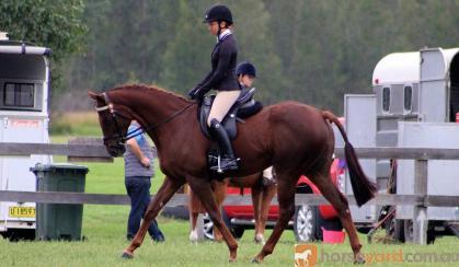 Superstar Dressage Mare on HorseYard.com.au