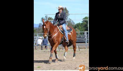 2001 Stunning QH Chestnut Solid Gelding Docs Spinifex Grandson- Cutting Lines 15.2hh on HorseYard.com.au
