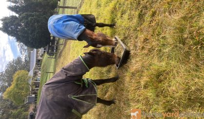 Thoroughbred gelding and standardbred mare  on HorseYard.com.au
