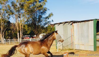 Stunning Buckskin Colt on HorseYard.com.au