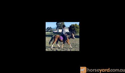 Registered Welsh A Mare on HorseYard.com.au