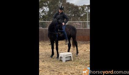 Stockhorse Gelding on HorseYard.com.au
