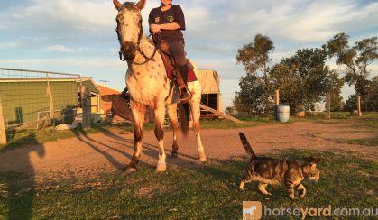 Leopard Appaloosa  on HorseYard.com.au