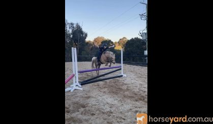 DIXIE- Cute &Quiet 12.2hh 7yo Welsh Mountain Pony  on HorseYard.com.au