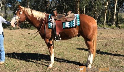 Lovely Paint Gelding on HorseYard.com.au