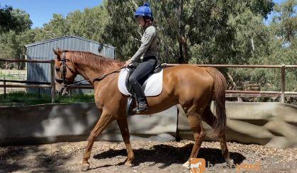 OTT GELDING on HorseYard.com.au