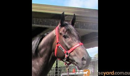 Outstanding looking Gelding on HorseYard.com.au