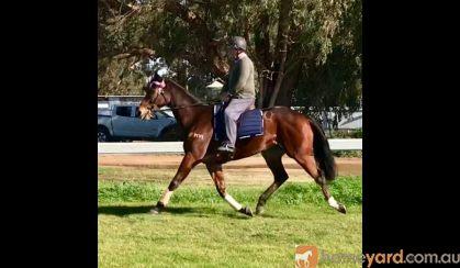 HUGE MOVING OTTB GELDING  on HorseYard.com.au