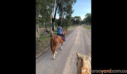 Registered QH gelding 5yrs 15hh on HorseYard.com.au