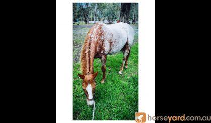 Kirby on HorseYard.com.au