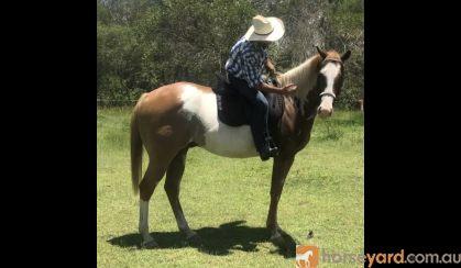 Paint Gelding on HorseYard.com.au