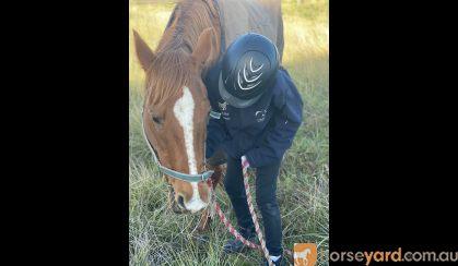 Wanting to buy a beginner horse. on HorseYard.com.au