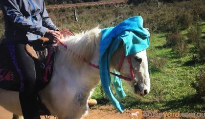 Very quiet beginners Welsh x, done pony club. on HorseYard.com.au