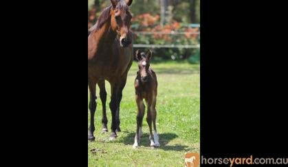 Fiji R Filly on HorseYard.com.au