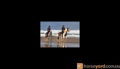 Registered Welsh Gelding on HorseYard.com.au
