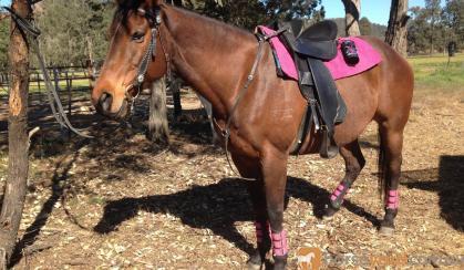 QUIET THOROUGHBRED MARE on HorseYard.com.au