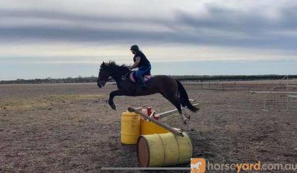Clydie x qh on HorseYard.com.au