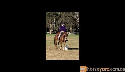 Stunning Chestnut  Mare on HorseYard.com.au