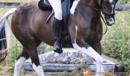 Talented Jumper  on HorseYard.com.au