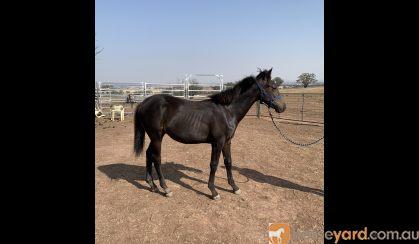 Dual Registered Waler gelding on HorseYard.com.au