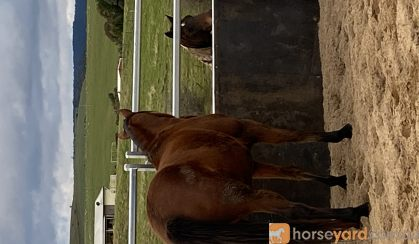 Project horse on HorseYard.com.au