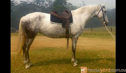 Flashy first cross Andalusian mare on HorseYard.com.au