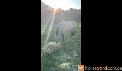 Buckskin QH x SH mare on HorseYard.com.au