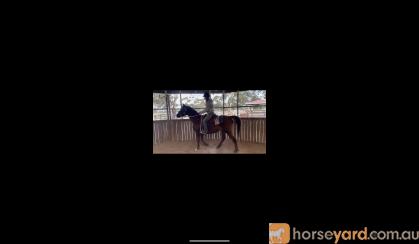 For sale DIXIE on HorseYard.com.au